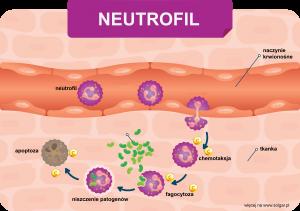 Neutrofile potrzebują witaminy C